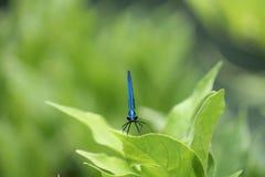 La libellula blu Fotografie Stock