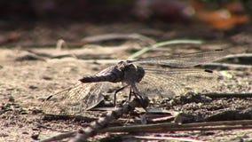 La libellula che si siede sulla sporcizia allora frantumata pilota le formiche assenti che vanno in giro la fine allegra della na stock footage