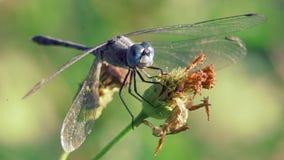 La libellula con il grande occhio blu sta mangiando la melata sui fiori e ventoso stock footage