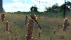 La libellula con le grandi ali trasparenti si siede in primo piano del campo archivi video