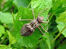 La libellula di Brown ha fuso sulla foglia verde, Lituania Fotografia Stock