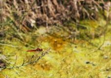 La libellula di erythraea di Crocothemis si siede sulla pianta fotografia stock