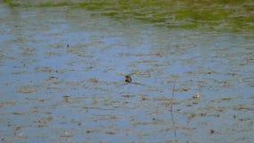 La libellula fa le uova video d archivio