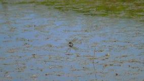 La libellula fa le uova stock footage