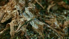 La libellula fluttua le sue ali che si siedono su un vecchio ramo asciutto archivi video
