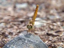 La libellula gialla è parcheggiata sulla roccia fotografia stock libera da diritti