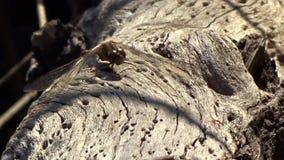 La libellula & le formiche sul vecchio stagno registrano il parco di stato di Grandview, WV stock footage