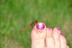 La libellula rossa rosso-venato il darter che riposa su un dito del piede umano Immagine Stock