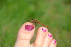 La libellula rossa rosso-venato il darter che riposa su un dito del piede umano Fotografia Stock Libera da Diritti