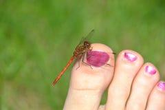 La libellula rossa rosso-venato il darter che riposa su un dito del piede umano Immagine Stock Libera da Diritti