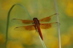 La libellula rossa si è appollaiata sulla lamierina di erba Immagini Stock Libere da Diritti