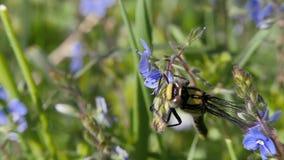 La libellula si siede su un fiore blu del prato, fondo vago dell'erba video d archivio