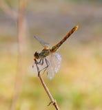 La libellula si siede su un ramo Fotografia Stock