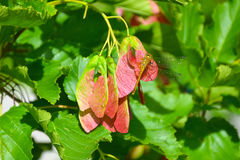 La libellula si siede sui semi dell'acero rosso immagine stock