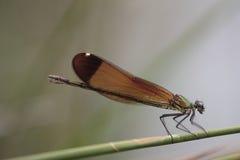 La libellula si siede sulla canna Fotografia Stock