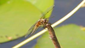 La libellula vola dai bastoni archivi video