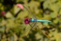 La libellule aiment une fleur Images stock
