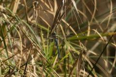 La libellule bleue accroche sur la lame de l'herbe Photos libres de droits