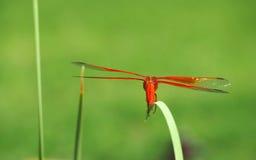 La libellule colorée d'écumoire de flamme prête pour le décollage Photo libre de droits
