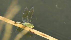 La libellule d'empereur, femelle pondant des oeufs banque de vidéos