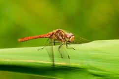 La libellule est une vie d'insecte près des corps de l'eau photographie stock