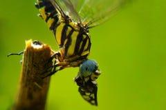 La libellule mange l'insecte image libre de droits