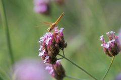 La libellule rassemblent le pollen Photo stock