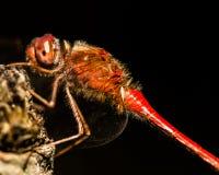 La libellule rouge étée perché sur un mort s'est levée image stock