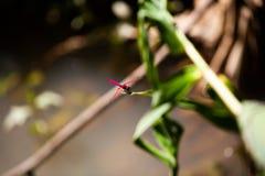 La libellule rouge attrape l'herbe image libre de droits