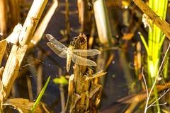 La libellule sèche ses ailes après son émergence Photos stock
