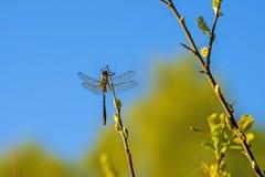 La libellule sèche son aile après son émergence Image stock