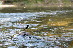 La libellule se repose sur une pierre dans le courant de l'eau Photographie stock