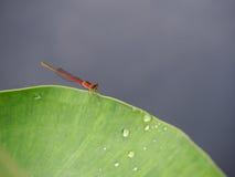 La libellule sur les feuilles vertes Photos libres de droits