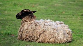 La libertad de ovejas de la vida una se relaja en campo verde Imagenes de archivo