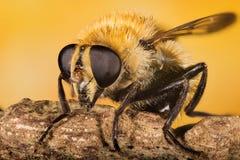 La Libración-mosca, Hoverfly, mosca, vuela Fotos de archivo libres de regalías