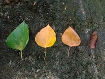 La licencia fresca y seca las hojas en la piedra negra fotos de archivo libres de regalías