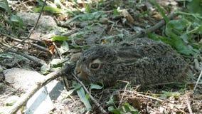 La liebre joven salvaje se sienta en la hierba en bosque almacen de metraje de vídeo