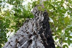 La ligereza de las hojas y la dureza del tronco de árboles amazónicos antiguos foto de archivo