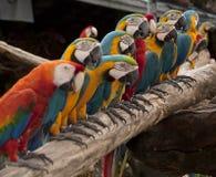 La ligne du perroquet coloré multi Images stock