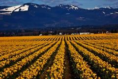 La ligne jaune de jonquille de source fleurit Skagit Photo libre de droits