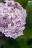 La lila Foto de archivo