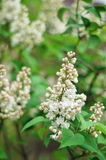 La lila blanca de la rama hermosa florece al aire libre Fotos de archivo libres de regalías
