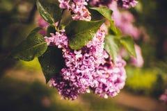 La lila de la púrpura de los arbustos Fotografía de archivo libre de regalías