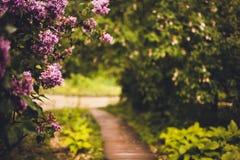 La lila de la púrpura de los arbustos Imagen de archivo