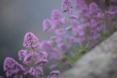 La lila florece el fondo imagen de archivo