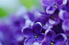 La lila florece el fondo imágenes de archivo libres de regalías