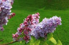 La lila florece el primer imagen de archivo libre de regalías