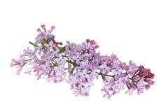 La lila florece el Syringa imágenes de archivo libres de regalías