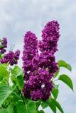 La lila florece en un fondo de un cielo nublado Fotografía de archivo