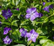 La lila florece en un fondo de hojas verdes Fotos de archivo